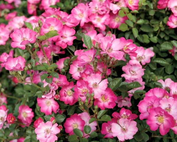 Lupo Garten Rosenfrieden