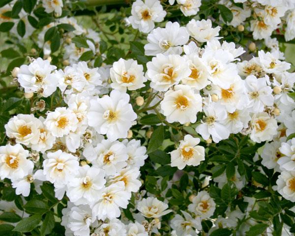 Lykkefund Garten Rosenfrieden