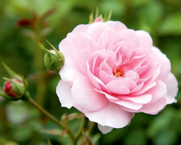 Medley Soft Pink Garten Rosenfrieden