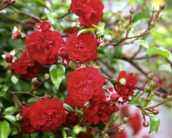 Momo Garten Rosenfrieden