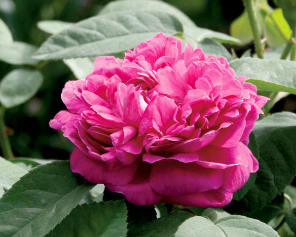 Rose de Resht Garten Rosenfrieden