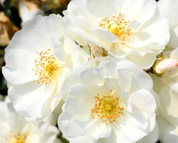 Schneeflocke Garten Rosenfrieden