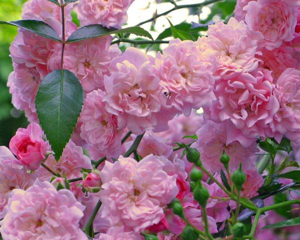The Fairy Garten Rosenfrieden